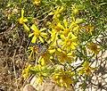 Senecio flaccidus var monoensis 4.jpg