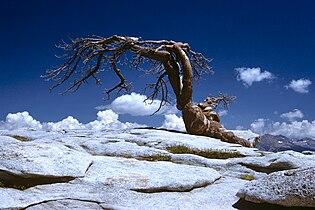 Sentinel Dome tree 1.jpg