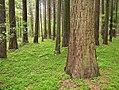 Sequoia giganteum Sequoiafarm.jpg