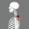 Serratus posterior superior muscle lateral2.png