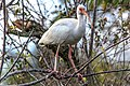 Shark Valley - bird Paradise W of Miami - White Ibis (Eudocimus albus) - (26692961310).jpg