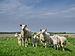 Sheep on old sea dike.jpg