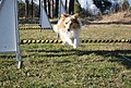 Shetland sheepdog jumping over obstacle.jpg