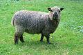 Shropshire-Schaf.jpg