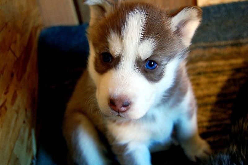 File:Siberia Husky puppy copper.jpg