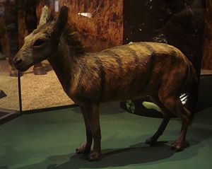 Sifrhippus - Sifrhippus restoration in the Swedish Museum of Natural History