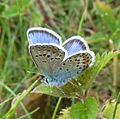 Silver-studded Blue. Plebejus argus. Male. u-s - Flickr - gailhampshire.jpg