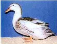 List of duck breeds - Wikipedia