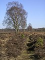 Silver birch on the Bishops Dyke, New Forest - geograph.org.uk - 140380.jpg