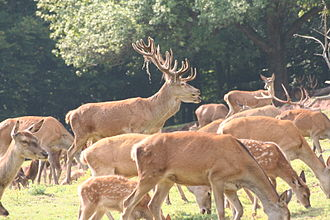 Deer hay wind - Red Deer stags and hinds