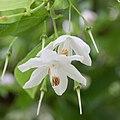Sinojackia xylocarpa fleurs3.jpg