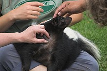 Pet skunk - Wikipedia, the free encyclopedia