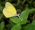 Small Grass Yellow (Eurema brigitta) on Spermacoce articularis W IMG 2973.jpg