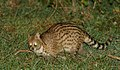 Small Indian Civet DSC 6472.jpg