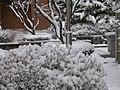 Snow on bushes.JPG