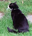 Socks the Cat Sitting on the South Lawn at the White House- 06-16-1998 (6461533205).jpg