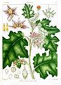 Solanum ferox-minus Govindoo.jpg