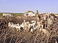 Somaliland Village (28988864313).jpg