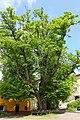 Sommerlinde im Schlosshof Engelstein 2015-05 NDM GD-114.jpg