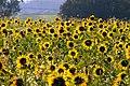 Sonnenblumen0.jpg