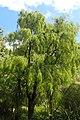 Sophora microphylla kz02.jpg