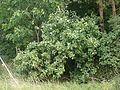 Sorbus cordigastensis 220816.jpg