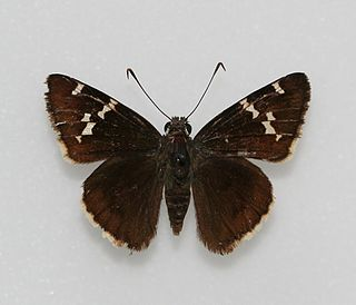 <i>Thorybes</i> Genus of skipper butterflies in subfamily Eudaminae