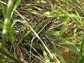 Southern Leopard Frog.jpg