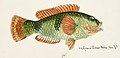 Southern Pacific fishes illustrations by F.E. Clarke 112.jpg