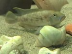 File:Spawning-Coordination-of-Mates-in-a-Shell-Brooding-Cichlid-517849.f1.ogv