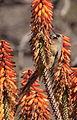 Speckled Mousebird (Colius striatus) in aloe (7623186090).jpg