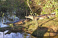 Spectacled Caimans on river bank.jpg