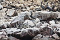 Spheniscus humboldti, Pelecanus thagus and Larosterna inca, Islas Ballestas 1.jpg