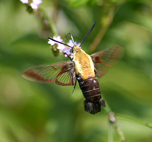 Hummingbird Moths Are Hummingbird Imposters  The Spruce
