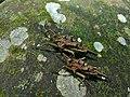 Spiky Grouse Locusts (Discotettix belzebuth) (6731079763).jpg