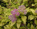 Spiraea japonica.jpg