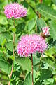 Spiraea splendens with bee - Paradise, Mount Rainier, August 2014 - 01A.jpg