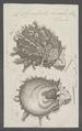 Spondylus ducalis - - Print - Iconographia Zoologica - Special Collections University of Amsterdam - UBAINV0274 074 10 0021.tif