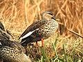 Spot-billed Duck Anas poecilorhynchamale by Dr. Raju Kasambe DSCN2834 (17).jpg