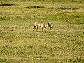 Spotted Hyena (6693806987).jpg