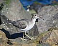 Spotted Sandpiper (non-breeding plumage) (40285030192).jpg