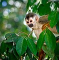 Squirrel Monkey (33017484071).jpg