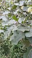 Sri Lankan eggplant flower bud.jpg