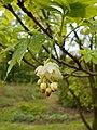 Staphylea pinnata 2017-05-05 9576.jpg