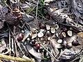Staphylea pinnata sl1.jpg