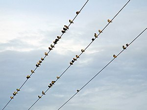 English: Starlings Starlings congregating on p...