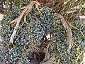 Starr-010420-0112-Livistona chinensis-fruits-plantation Waikapu-Maui (24236779290).jpg