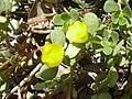 Starr-040318-0015-Portulaca lutea-flowers-Maui Nui Botanical Garden-Maui (24071403264).jpg