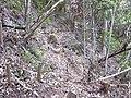 Starr-040730-0007-Cordyline fruticosa-building trail Na ala hele-Makawao Forest Reserve-Maui (24419543460).jpg