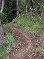 Starr-041221-1788-Cenchrus clandestinus-Polipoli trail-Polipoli-Maui (24628332151).jpg